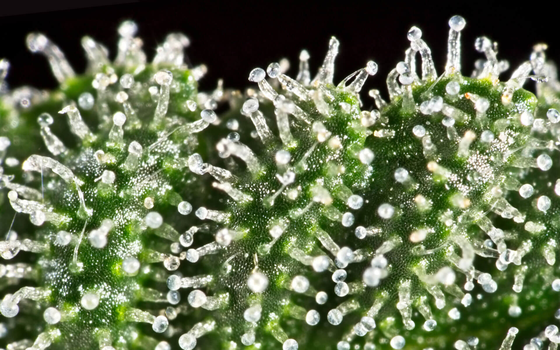 The Crystals of Trichomes