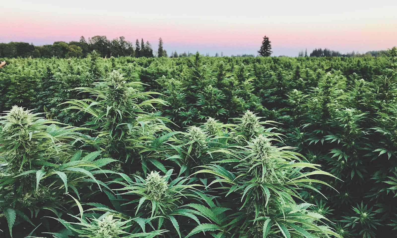 Oregon and California hemp flower farming