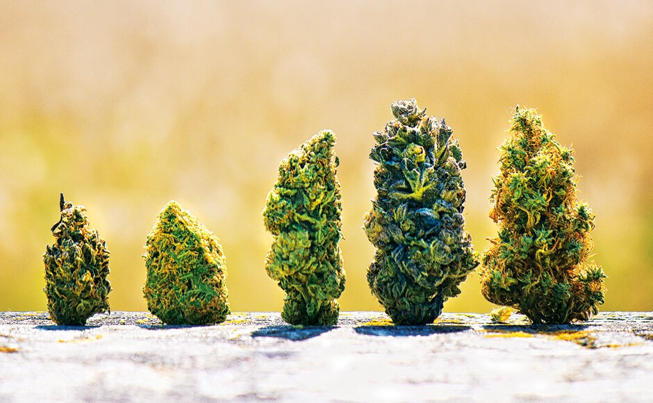 CBD hemp bud strains