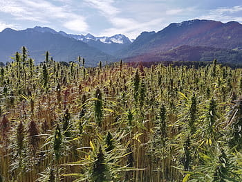 What is hemp plant all about