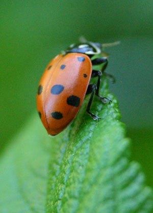 ladybugs and the hemp farmer