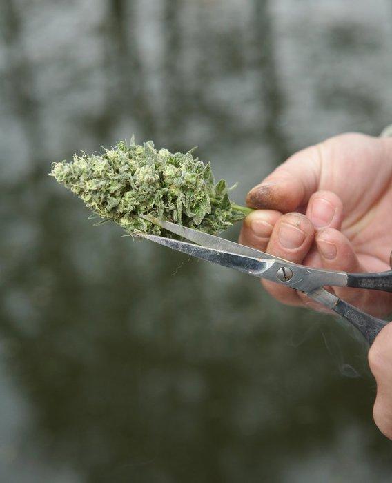 hemp flower trim