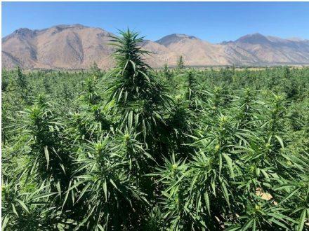 why is growing hemp organically best