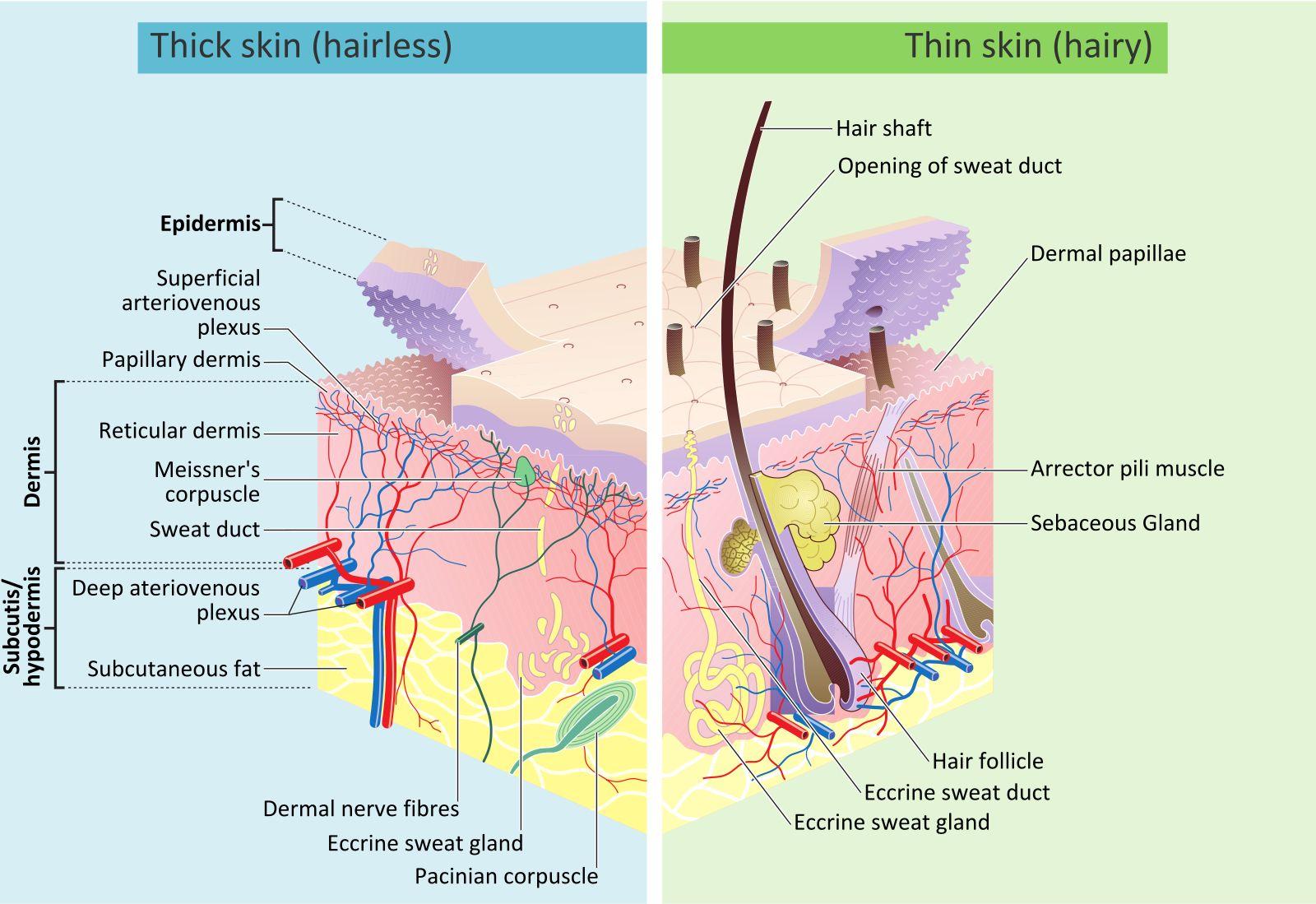 CBD goes to the Skin Endocannabinoid System
