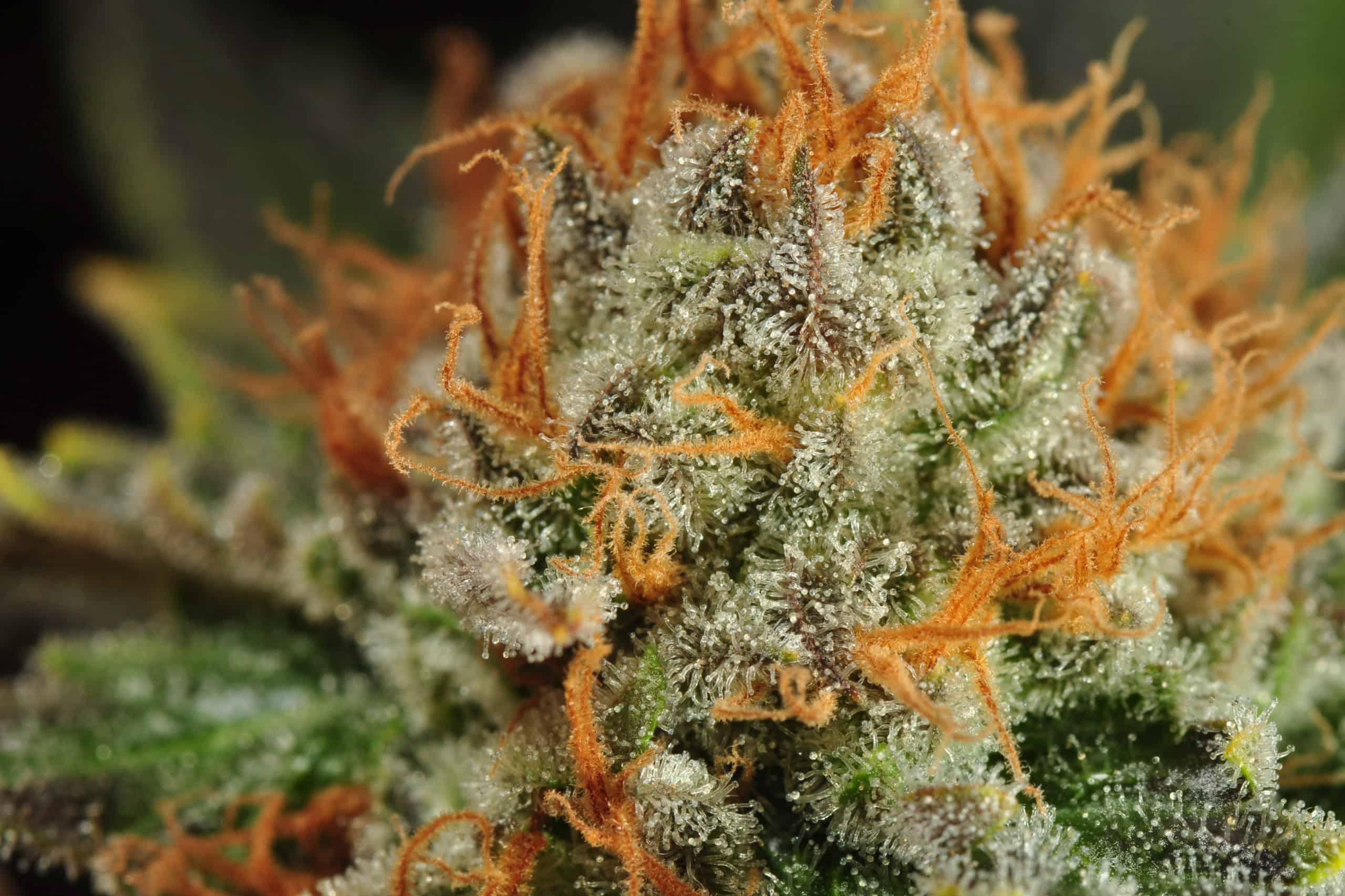 smoking indoor grown hemp flower